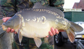 Large Carp for Sale